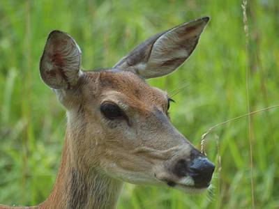 Photograph - Deer Upclose by HW Kateley