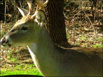 Photograph - Deer4 2009 by Glenn Bautista