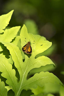 Photograph - Delaware Skipper by Christina Rollo