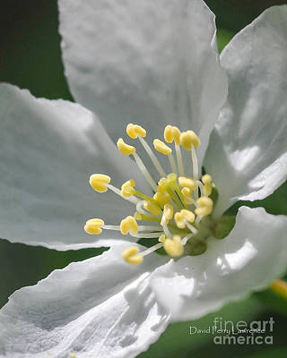 Photograph - Delcate Widflower With Beautiful Stamen by David Perry Lawrence