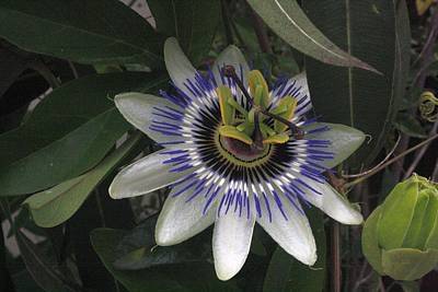 Photograph - Delicate And Beautiful Passiflora Flower by Tracey Harrington-Simpson