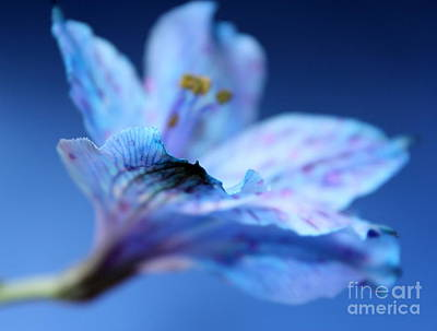 Blue Flowers Photograph - Delicate Blue by Krissy Katsimbras