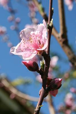 Delicate Buds Of Peach Tree Blossom Art Print by Tracey Harrington-Simpson