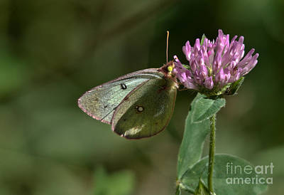 Photograph - Delicate Butterfly by Cheryl Baxter