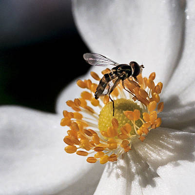 Hoverfly Wall Art - Photograph - Delicate by Caitlyn  Grasso