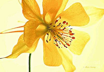 Photograph - Delicate Columbine  by Chris Berry