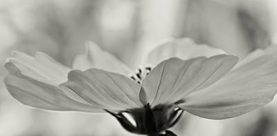 Photograph - Delicate Cosmos by Don Schwartz