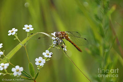 Photograph - Delicate Damsel by Susan Herber