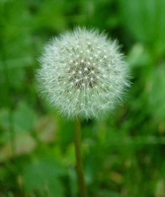 Photograph - Delicate Dandelion by Richard Bryce and Family