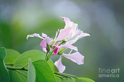 Photograph - Delicate Delight by Kerryn Madsen-Pietsch