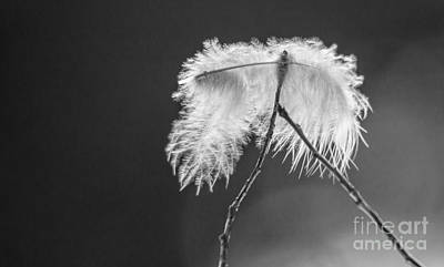 Photograph - Delicate Feather by Cheryl Baxter