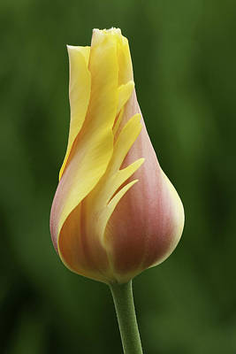 Photograph - Delicate Folds Of A Tulip by Ram Vasudev