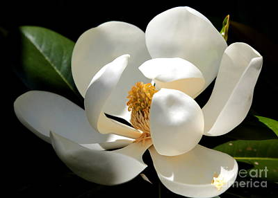 Photograph - Delicate Magnolia by Carol Groenen