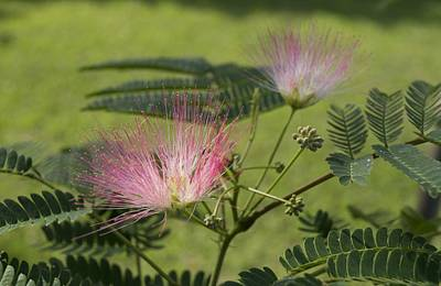 Photograph - Delicate Mimosa Blossoms by MM Anderson