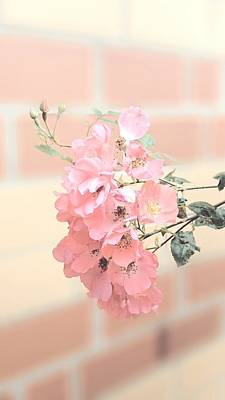 Photograph - Delicate Pink 1 by Jacqueline Schreiber