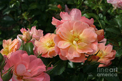 Photograph - Delicate Pink Roses by Martha Burton