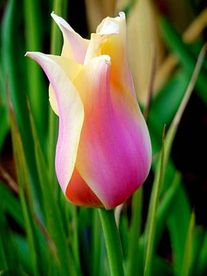 Photograph - Delicate Pink Tulip by Jeff Lowe