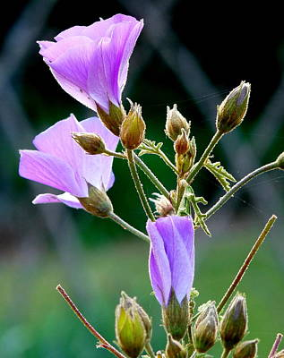 Photograph - Delicate Purple Blossoms by Jeff Lowe