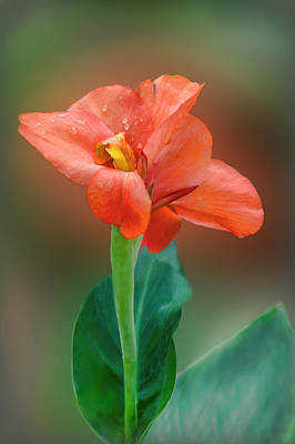 Canna Photograph - Delicate Red-orange Canna Blossom by Linda Phelps