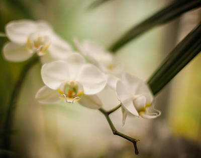 Conservatory Of Flowers Photograph - Delicate Romance Lace by Mike Reid