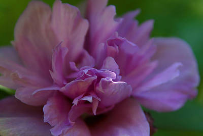 Rose Of Sharon Tree Photograph - Delicate Rose Of Sharon by Denyse Duhaime