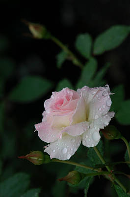 Photograph - Delicate Rose by Pat Knieff