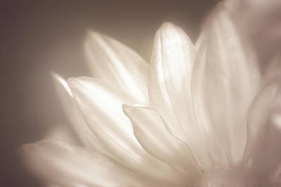 Daisy Photograph - Delicate by Scott Norris