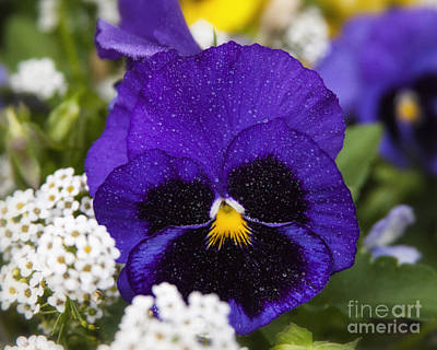 Photograph - Delicate Spring Violet Pansy Flower With Water Drops by Jerry Cowart