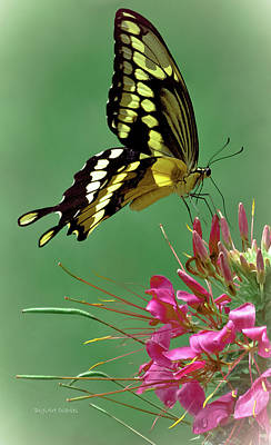 Blue Swallowtail Photograph - Delicate Swallowtail by DigiArt Diaries by Vicky B Fuller