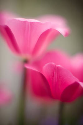 Delicate Tulip Curves Art Print