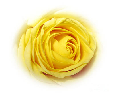 Photograph - Delicate Yellow Rose In White by Oksana Semenchenko