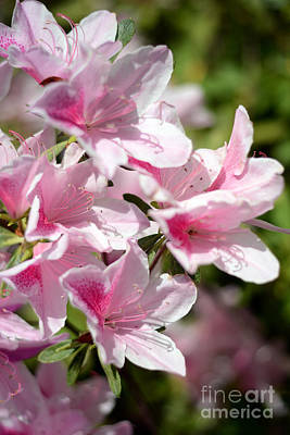 Photograph - Deliciously Pink Azaleas by Connie Fox