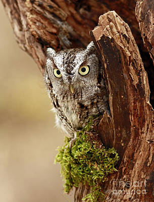 Delighted By The Eastern Screech Owl Art Print by Inspired Nature Photography Fine Art Photography