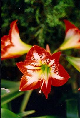 Photograph - Delightful Amaryllis  by Robert Bray