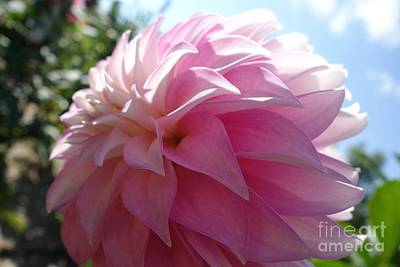 The Blue Dahlia Photograph - Delightfully Pink by Jacqueline Athmann