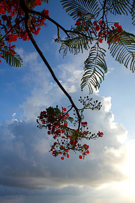 Sunrise Photograph - Delonix Regia by Jared Shomo