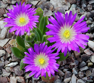 Delosperma Ashtonii Flowers Art Print by Nigel Downer