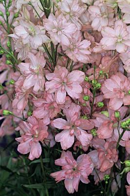 Caroline Wall Art - Photograph - Delphinium Flowers by Adrian Thomas/science Photo Library