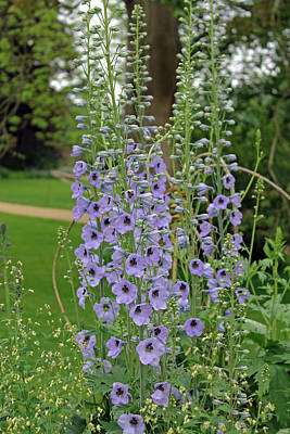 Photograph - Delphiniums  by Tony Murtagh