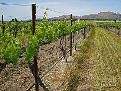Central Coast Winery Photograph - Demetria Vineyard by Maureen J Haldeman
