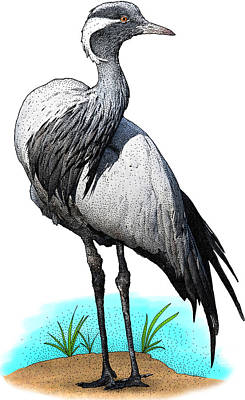 Photograph - Demoiselle Crane, Illustration by Roger Hall