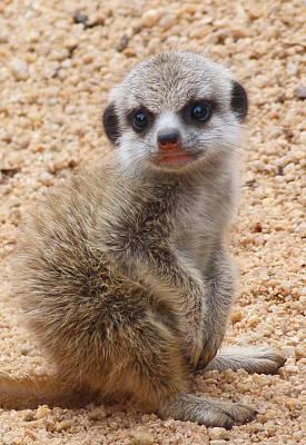 Photograph - Demure Baby Meerkat by Margaret Saheed