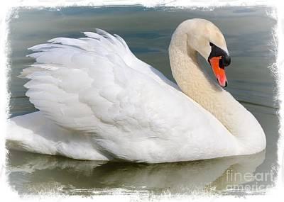 Orange Photograph - Demure Swan With Textured Border by Carol Groenen