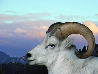 Denali Dall Sheep Art Print