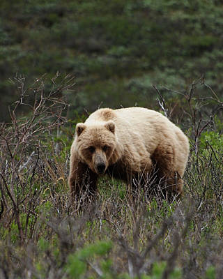 Wild And Wacky Portraits Rights Managed Images - Denali Grizzly Bear Royalty-Free Image by Valerie Mellema