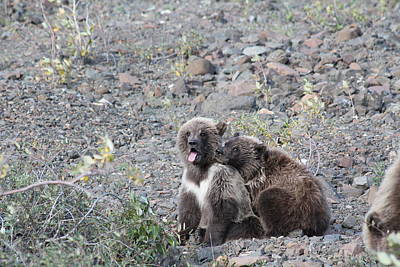 Photograph - Denali Grizzly Cubs by David Wilkinson