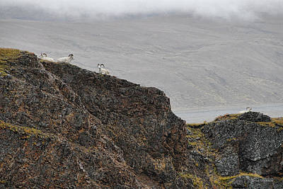 Photograph - Denali's Dall Sheep by Dyle   Warren