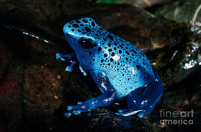 Frogs Photograph - Dendrobates Azureus From French Guiana by Gregory G. Dimijian