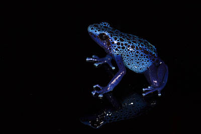 Frogs Photograph - Dendrobates Tinctorius  by JP Lawrence