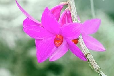 Dendrobium Glomeratum 'qingyu' Art Print by Sam K Tran/science Photo Library